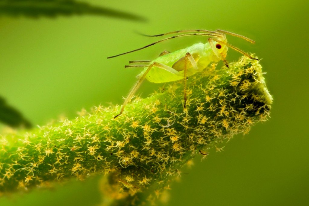 Cannabis And Aphids: Identification, Prevention And Control