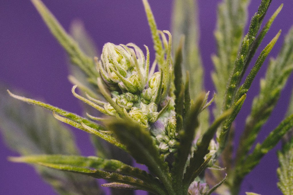 Cannabis Plants: Male, female and hermaphrodite