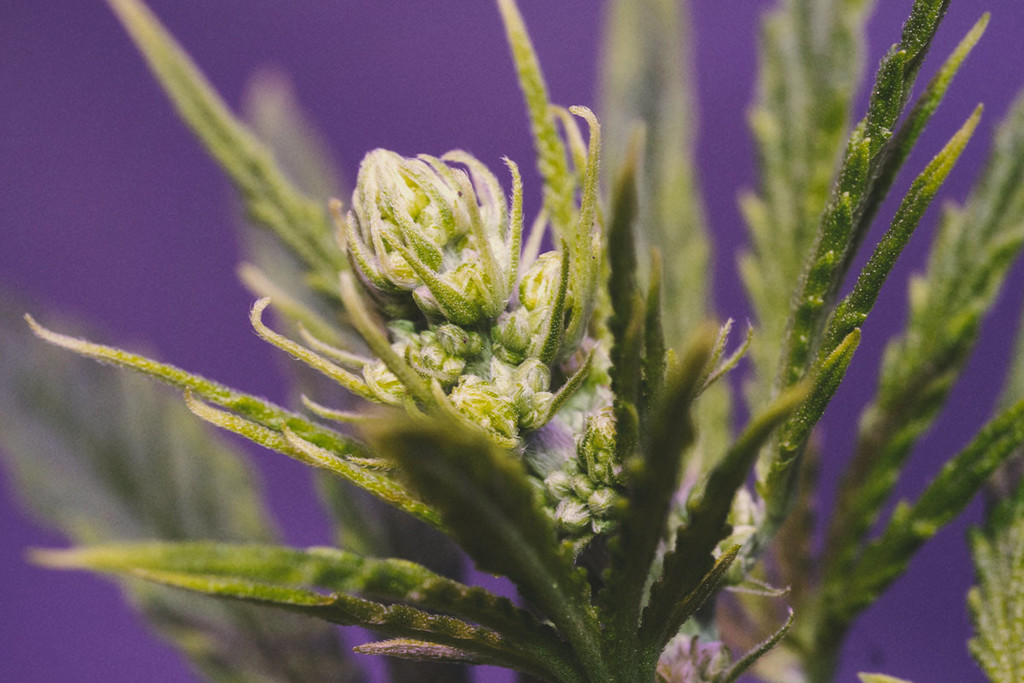 Cannabis Plants: Male, female and hermaphrodite