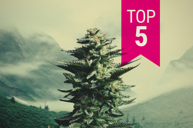 Top 5 Sativa Strains For Northern Climates