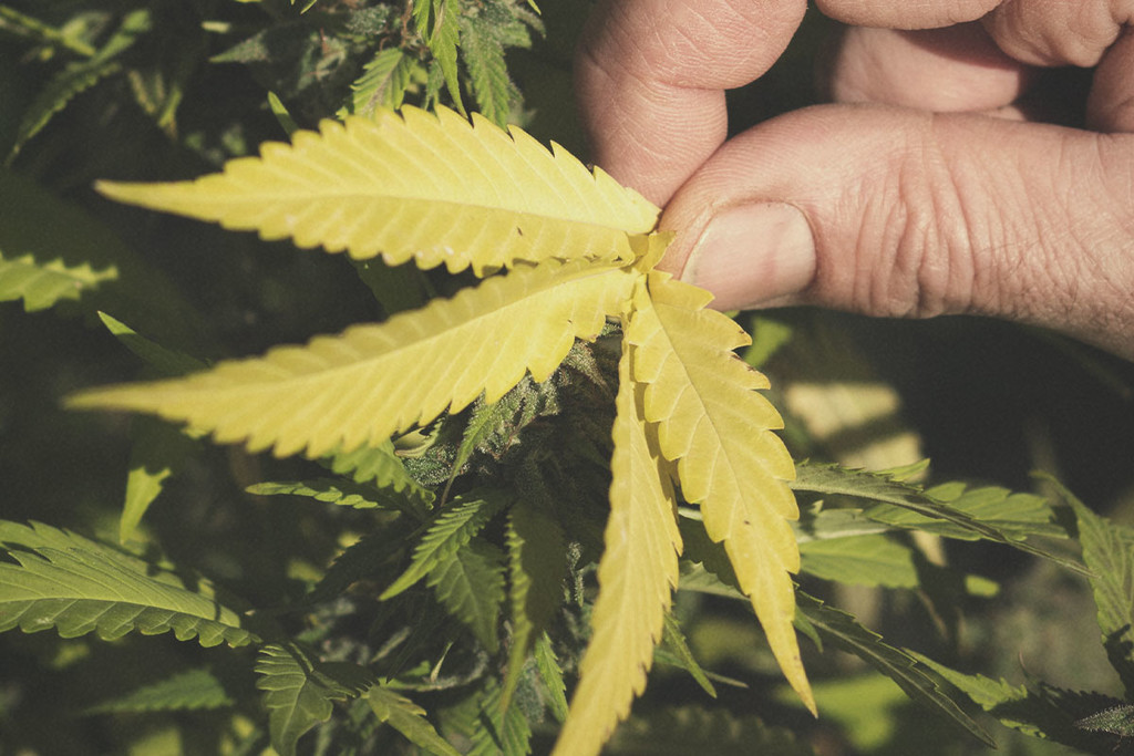The Causes And Solutions For Yellow Cannabis Leaves Rqs Blog