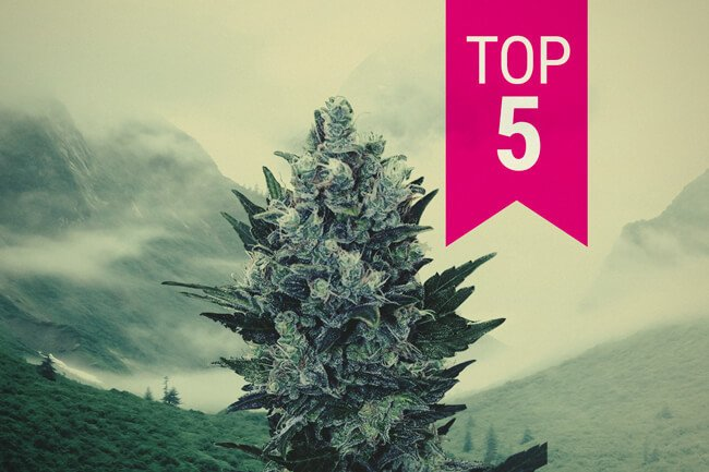 Top 5 Indica Strains To Grow In Northern Climates