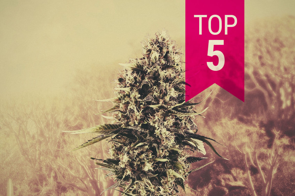Our Top 5 Sativa Strains For Southern Climates