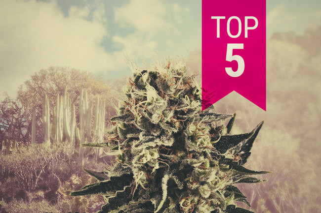 Our Top 5 Indica Strains For Southern Climates