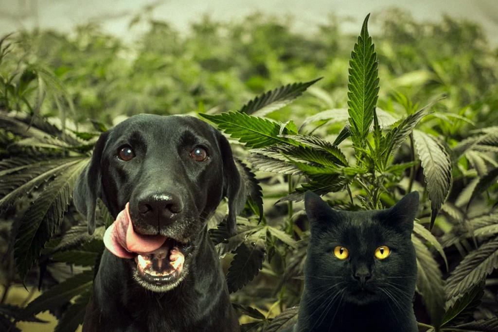 CBD kaņepes ar suni un kaķi