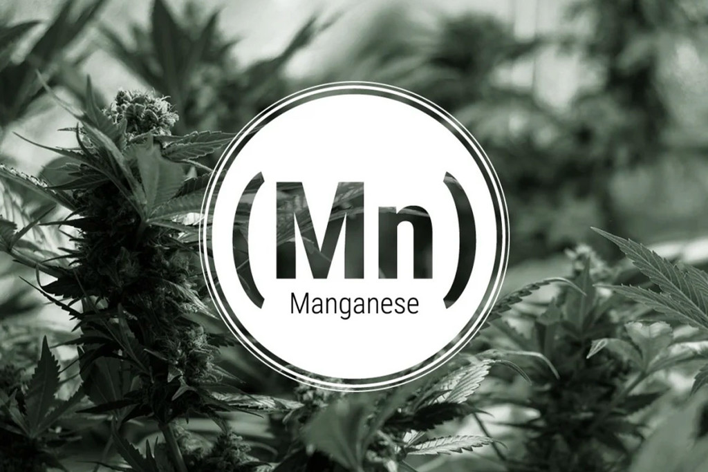 Manganese Deficiency In Cannabis Plants