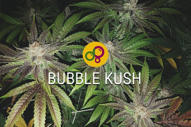 Bubble Kush our version of Bubba Kush