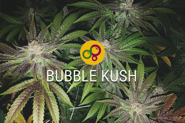 Bubble Kush: Carrying On A Sweet Cannabis Legacy