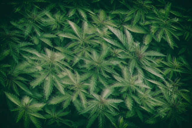 How Cannabis Can Treat Nausea And Vomiting