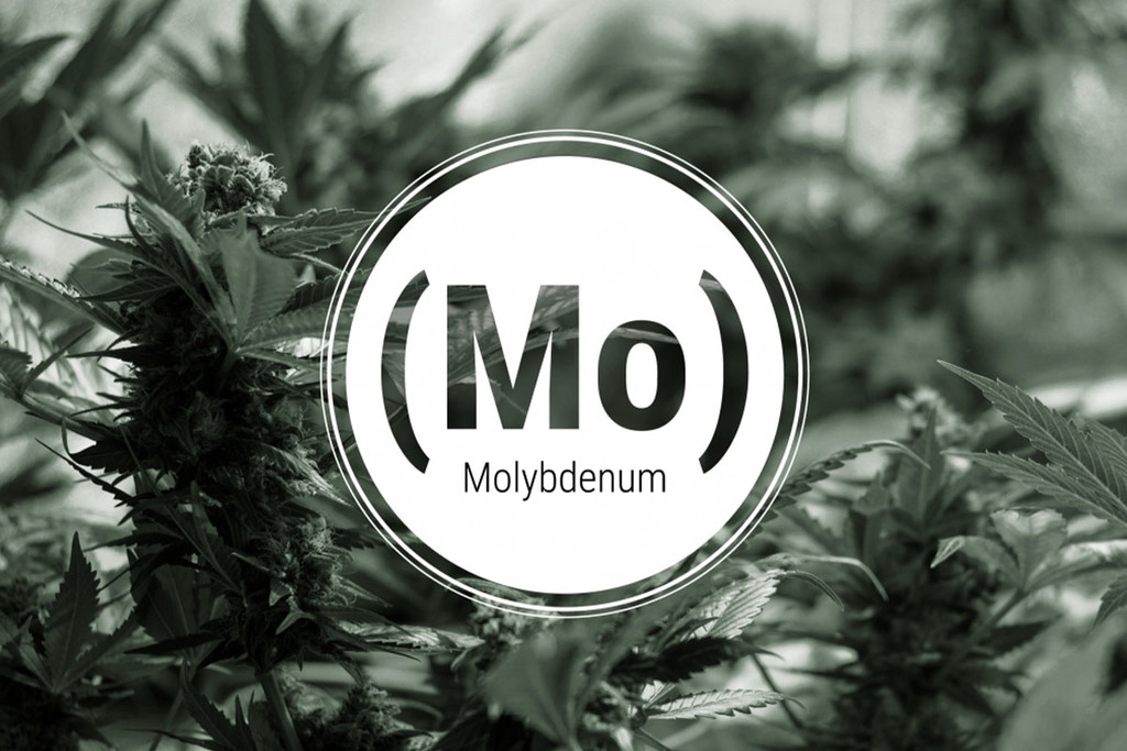 Molybdenum Deficiency In Cannabis Plants