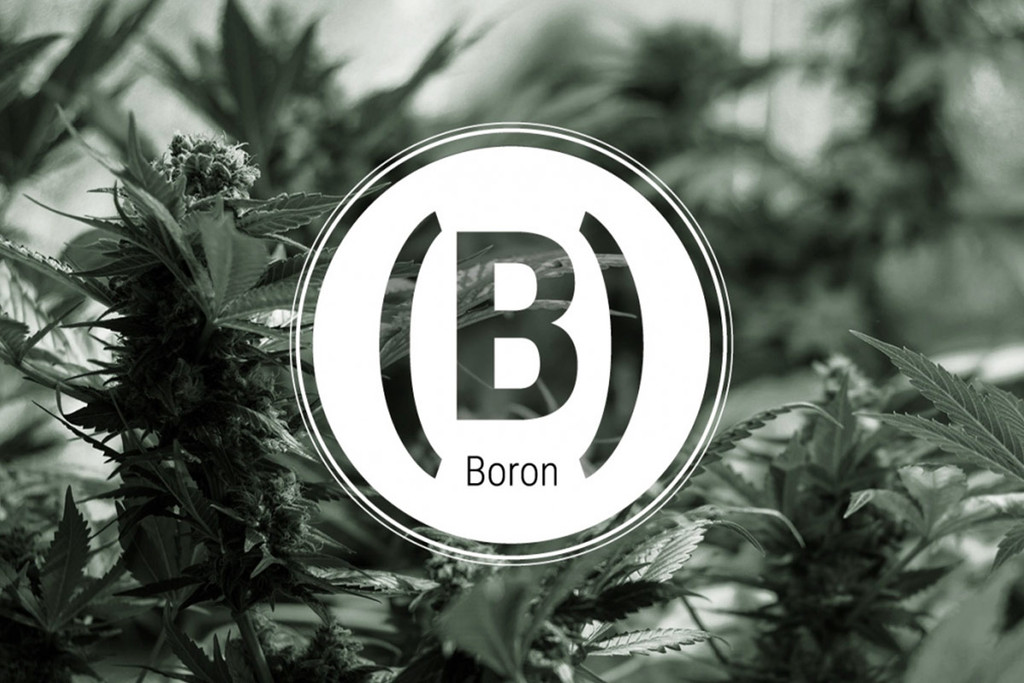Boron Deficiency In Cannabis Plants