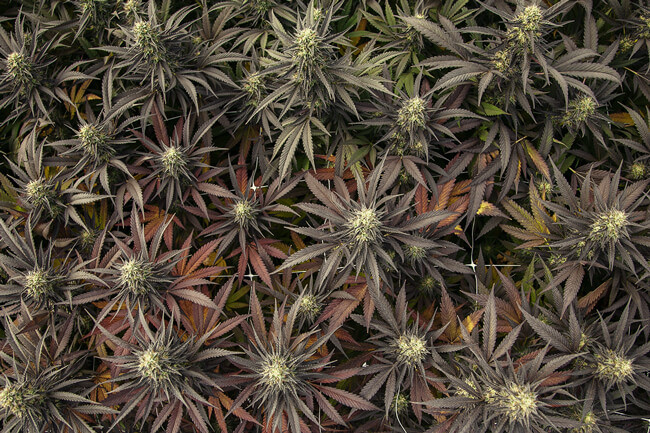 Many-Coloured Weed - What Is Colourful Cannabis And Why Does It Exist?