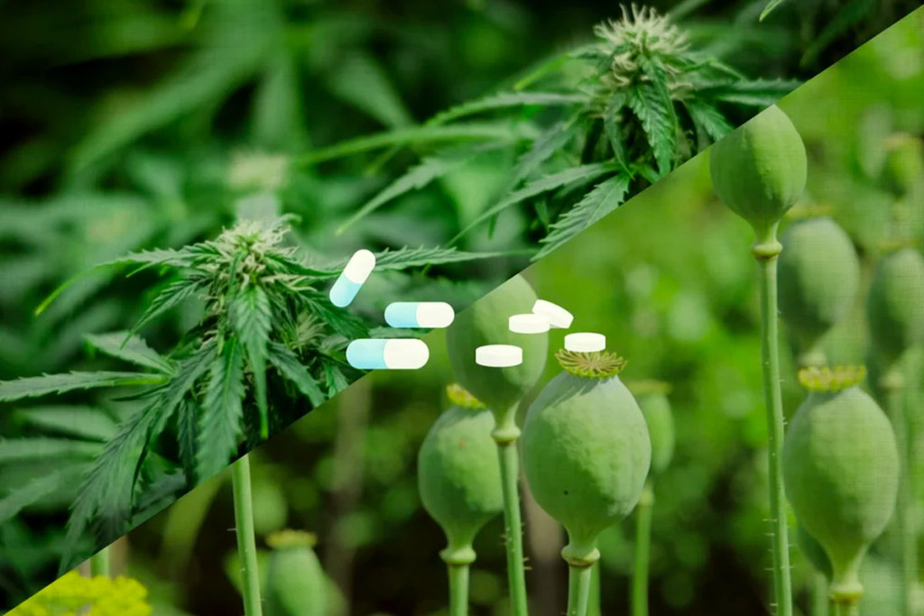 Cannabinoids Vs Opioids, Which Is More Effective At Treating Pain?