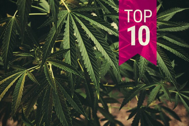 Top 10 Classic Cannabis Strains That You Just Have To Try