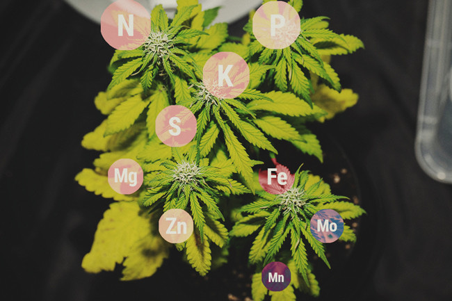 Nutrient Lockout In Cannabis Plants - Preventing And