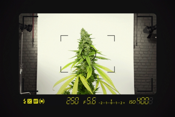 Tips For Taking Top Quality Marijuana Pictures