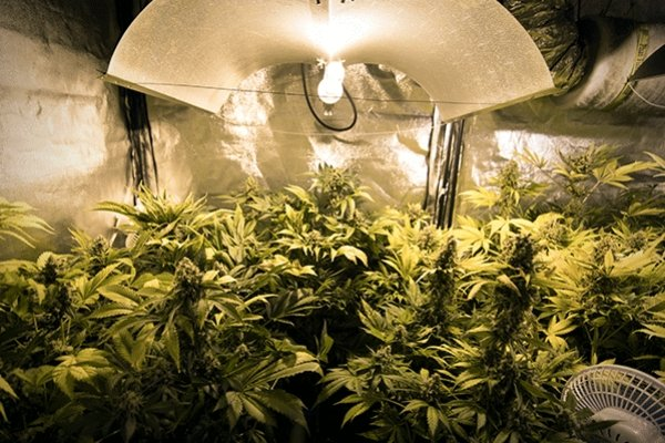 The Indoor Marijuana Grower S Guide To Artificial Lights