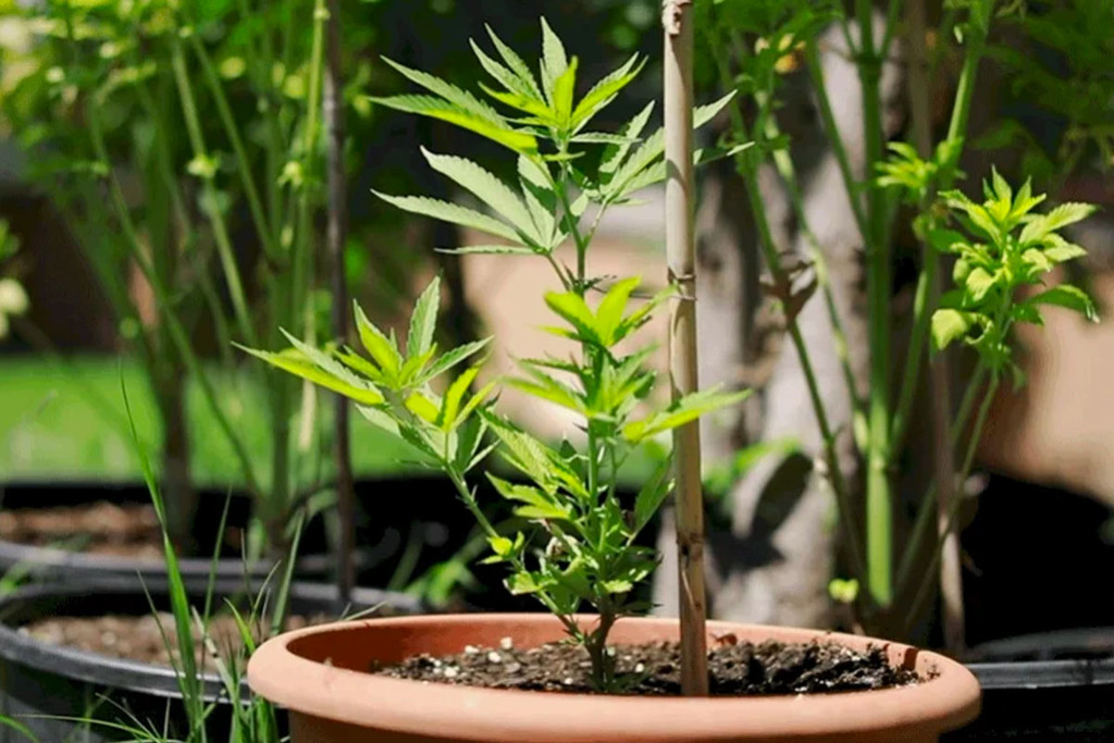 Is It Possible To Clone Autoflowering Varieties Of Cannabis?
