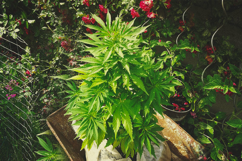The Ultimate Guide To Growing Organic Cannabis