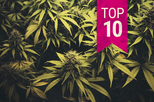 Top 10 Best Sativa Cannabis