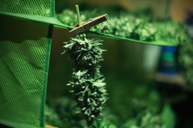 Top Tips To Successfully Dry And Cure Your Fresh Cannabis Buds