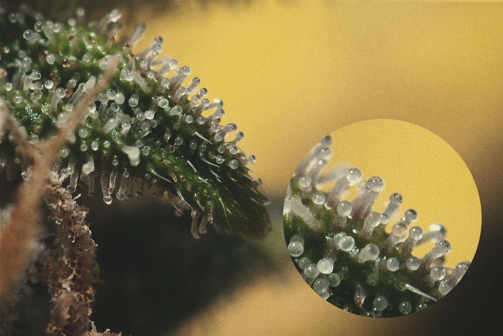 A How-To Guide On Boosting Trichome Production