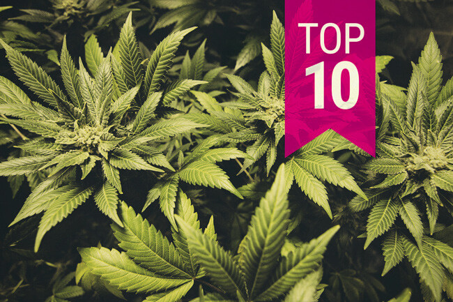 Top 10 Cannabis Indica strains