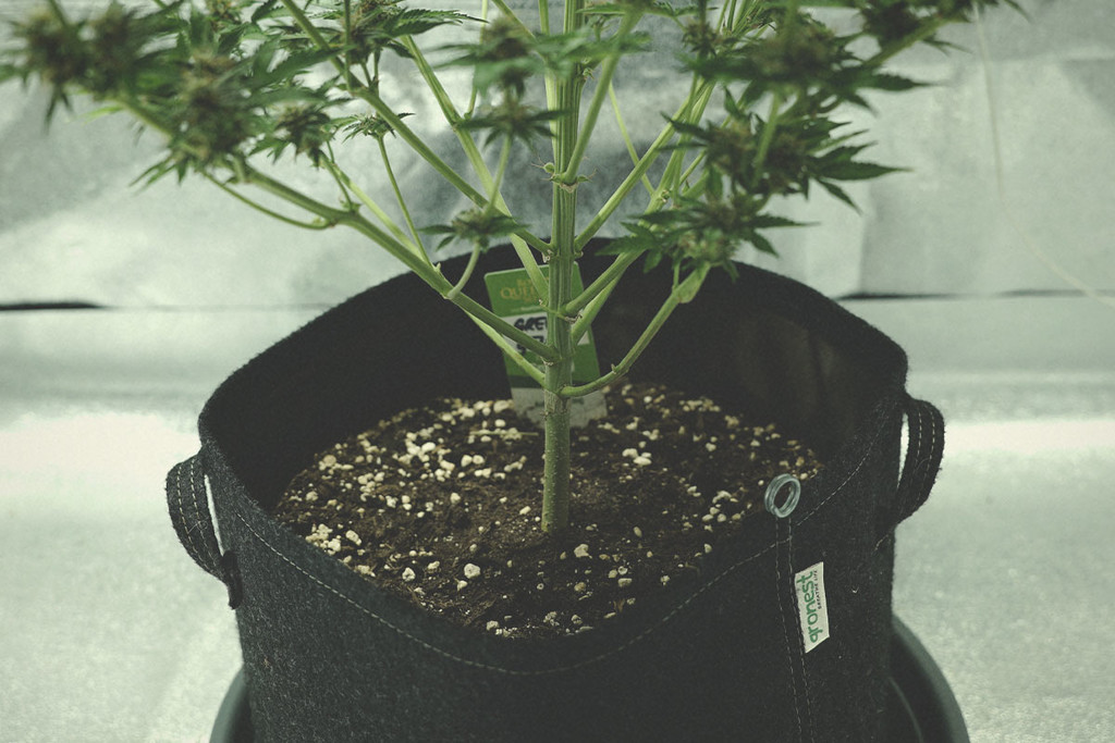 Perlite And Cannabis Cultivation
