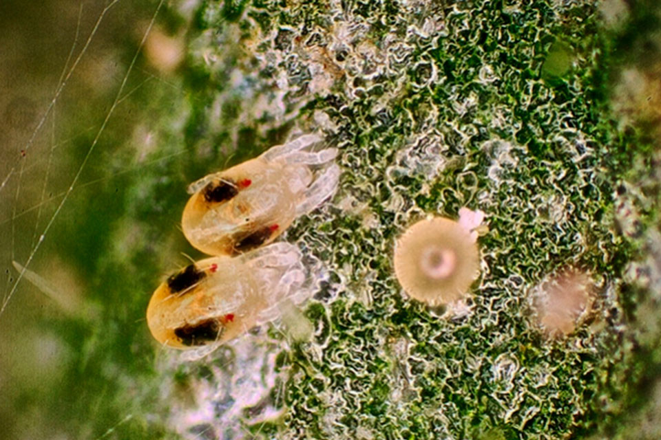 How To Deal With Broad Mites On Cannabis Plants