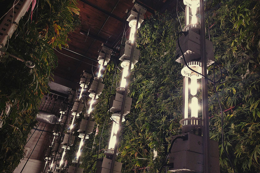 Vertical Cannabis Cultivation And The Best Hydroponic