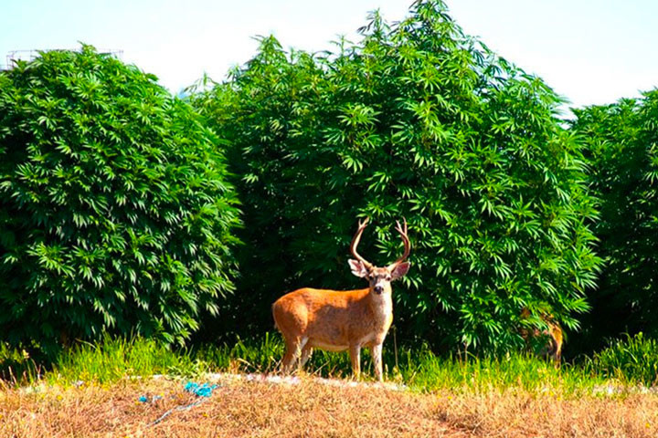 Humboldt County, The Hub Of Cannabis Growth