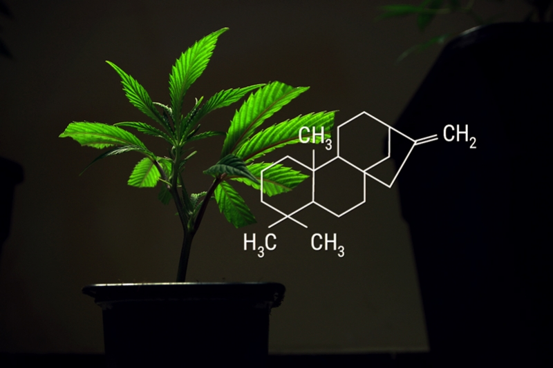 Cannabis Clones And Rooting Hormones