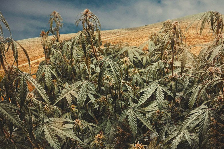 Growing Cannabis In Drought Conditions