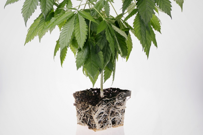 How To Prevent And Fix Root Bound Cannabis