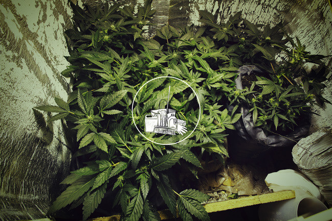 Why You Should Keep Your Cannabis Grow Room Clean