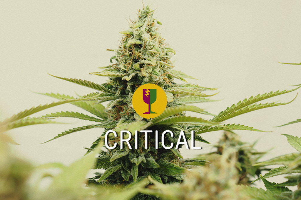 Critical, The best cannabis strain for commercial growers.