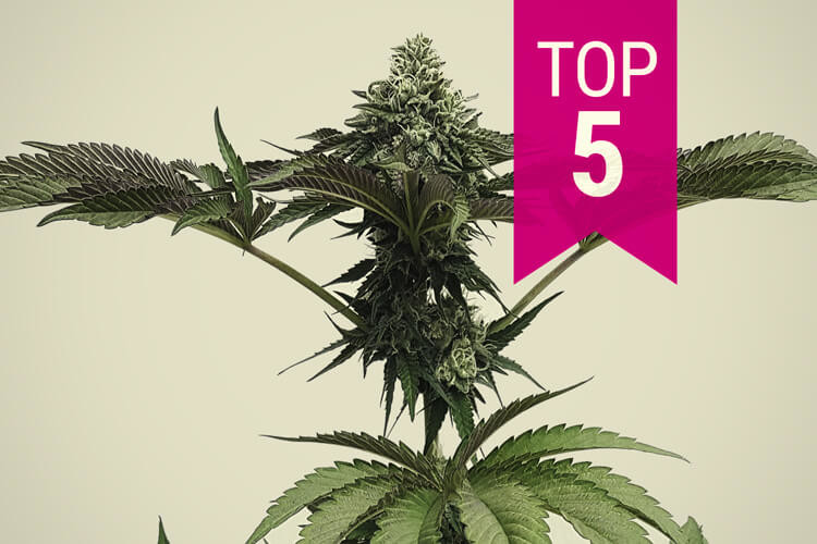 The 5 Most Potent Indica Strains