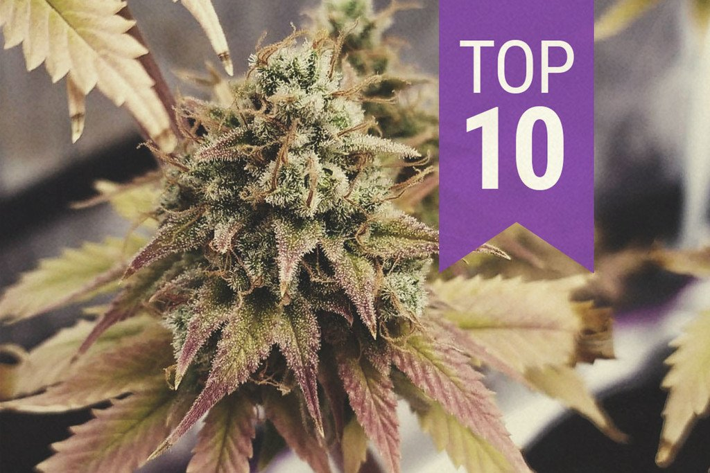 Top 10 High-THC Strains (By Categories) - RQS Blog