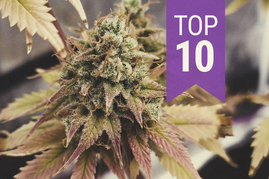 Top 10 High-THC Strains (By Categories)