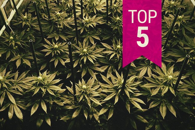 Top 5 RQS Cannabis Strains To Grow In A Sea Of Green (SOG