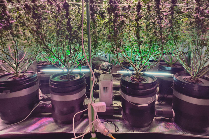 Get Huge Yields Using Deep Water Culture (DWC)