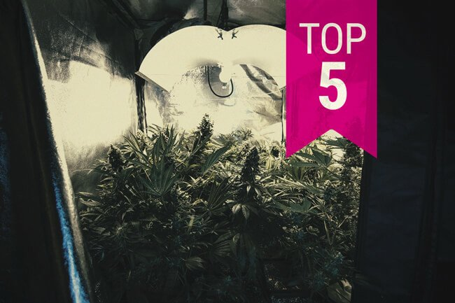 Top 5 Low Odour Cannabis Strains To Keep Stench Under Control