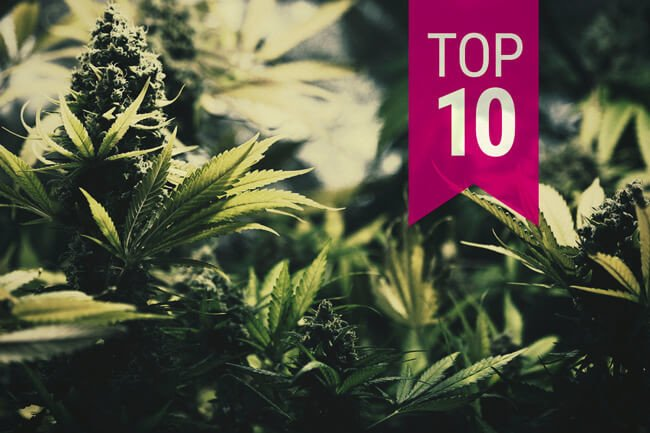 Top 10 Kush Cannabis Strains From Royal Queen Seeds