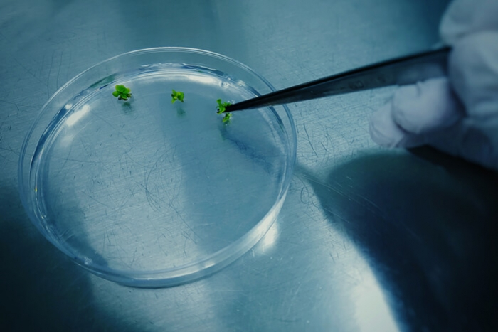 Tissue Culture Propagation: The Future Of Cannabis Cloning