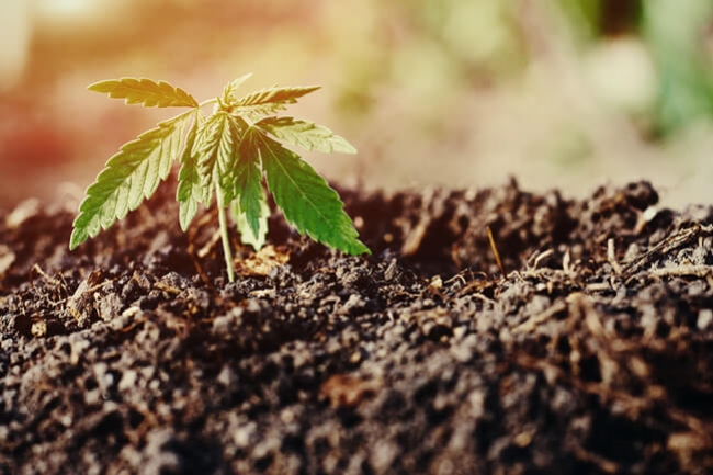 The Best Soil For Growing Autoflowering Cannabis