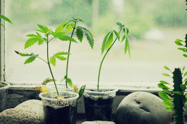 How And When To Transplant Cannabis Seedlings