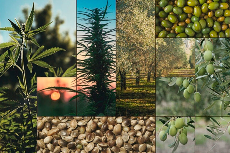 Hemp Seed Oil Vs Olive Oil: What's The Difference?