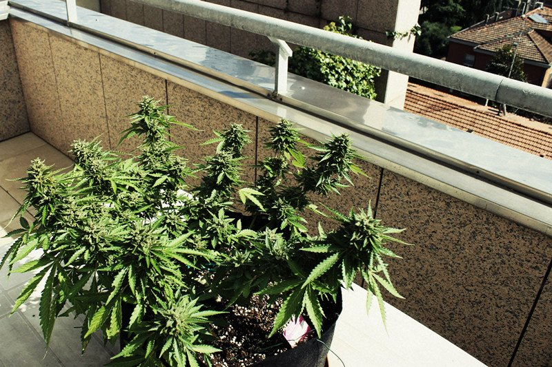 How To Grow Great Weed On A Balcony Or Terrace
