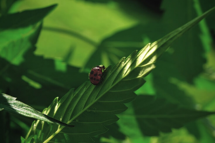 Biological Pest Control And Prevention For Cannabis Plants