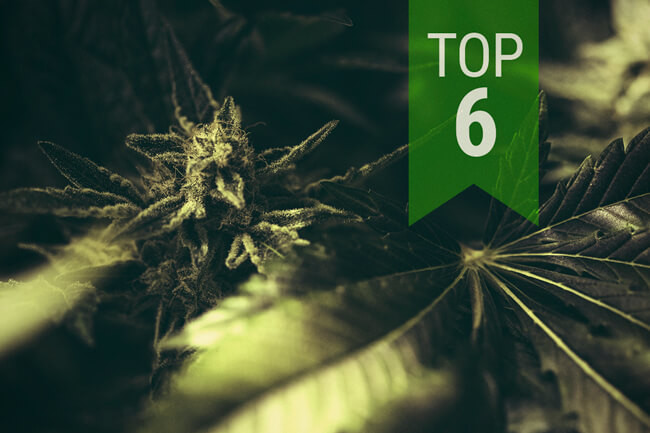 The Top 6 Classic Autoflowering Cannabis Strains